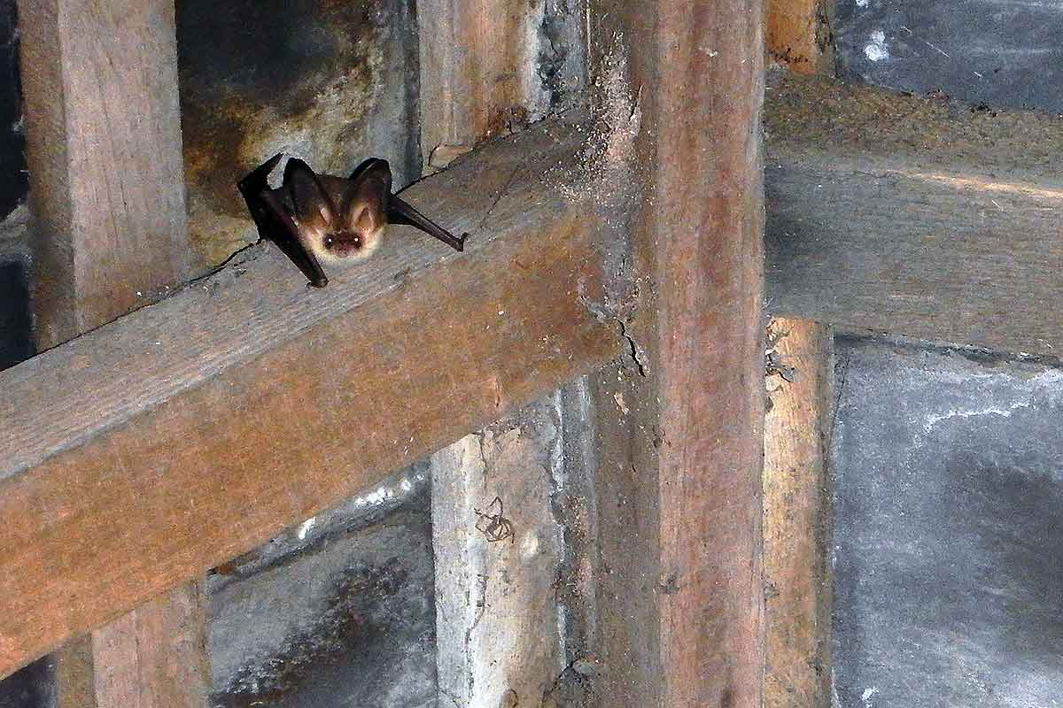 Bat surveys of a barn in Delamere Cheshire CW8